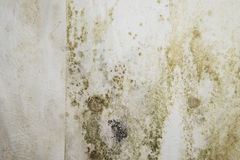 Mildewed Walls. With different sorts of mold (close-up shot Royalty Free Stock Image