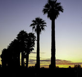 Mildura Palms & the sunset. A silhouette  of palms along the roadside as the sunsets Stock Photos
