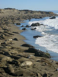 A Mile of Elephant Seals Stock Images