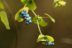 Mile a Minute Vine with Berries. Mile a Minute Vine is a fast growing plant with tiny hooks on its leaves that stick to clothes and fur. In the Eastern US it is Royalty Free Stock Photo