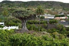 Milenarian Dragon tree, Icod de los vinos Royalty Free Stock Photos