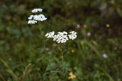 Milenrama común en el claro del bosque Fotografía de archivo libre de regalías