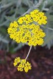 Milenrama de oro en la floración Foto de archivo