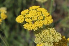 Milenrama floreciente amarilla (millefolium de Achillea) Foto de archivo libre de regalías