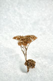 Milenrama (millefolium del achillea) en nieve Fotos de archivo