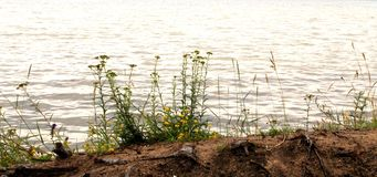 Milenrama que crece en una orilla del lago fotos de archivo