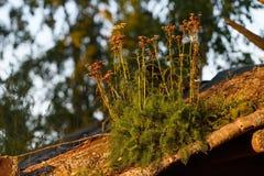 Milenramas marchitadas en el crecimiento ligero de la tarde en un tejado de madera viejo Fotos de archivo