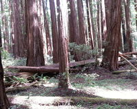 Miles of Redwoods Stock Images