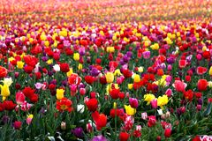 Miles of Tulips in full bloom Stock Photography