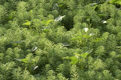 Milfoil νερού ή aquaticum Myriophyllum στον τομέα ορυζώνα Στοκ εικόνα με δικαίωμα ελεύθερης χρήσης