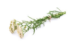 Milfoil Royalty Free Stock Images
