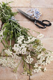 Milfoil de prata (Achillea Millfolium), uma erva medicinal Imagens de Stock
