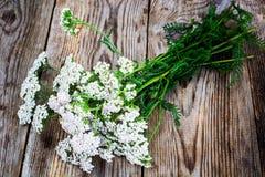 Milfoil Flower on Rustik Wooden Background Stock Image