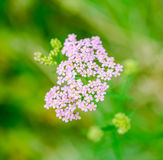 Milfoil herbal medicine, Yarrow (Achillea millefolium) Royalty Free Stock Photo