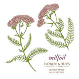 Milfoil vector set. Milfoil flowers vector set on white background Royalty Free Stock Images