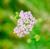 Milfoil ziołowa medycyna, krwawnik (Achillea millefolium) zdjęcie royalty free