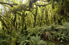 Milford Track - Moss forest Stock Images