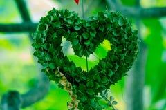 Milhão ruscifolia Decne de HeartDischidia Becc ex sob a forma do coração dado forma planta decorativa Fotografia de Stock
