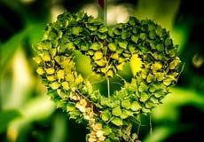 Milhão ruscifolia Decne de HeartDischidia Becc ex sob a forma do coração dado forma planta decorativa Fotografia de Stock Royalty Free