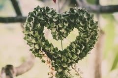 Milhão ruscifolia Decne de HeartDischidia Becc ex sob a forma do coração dado forma planta decorativa Imagem de Stock