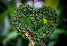 Milhão ruscifolia Decne de HeartDischidia Becc ex sob a forma do coração dado forma planta decorativa Imagens de Stock Royalty Free