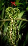 Milhão ruscifolia Decne de HeartDischidia Becc ex sob a forma do coração dado forma planta decorativa Foto de Stock Royalty Free