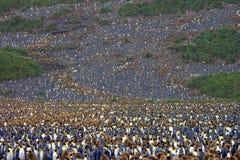 Milhões de pinguins de rei a Antártica Fotografia de Stock Royalty Free