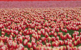 Milhões dos Tulips Foto de Stock Royalty Free