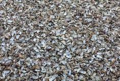 Milhares de escudos vazios das ostras comidas rejeitadas no assoalho de mar em Cancale, famoso para explora??es agr?colas da ostr imagem de stock royalty free