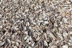 Milhares de escudos vazios das ostras comidas rejeitadas no assoalho de mar em Cancale, famoso para explora??es agr?colas da ostr fotografia de stock