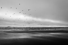 Milhares de gansos da migração na praia de Kalaloch Imagens de Stock