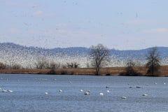 Milhares de gansos de neve imagem de stock