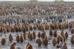 Milhares de pinguins e de bebês adultos de rei na planície de Salisbúria, Geórgia sul imagens de stock