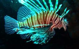 Milhas do Pterois do firefish do diabo Imagem de Stock