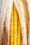 Milho amarelo bonito fotografia de stock