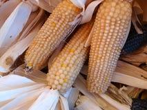 Milho branco, Zea maio Fotografia de Stock