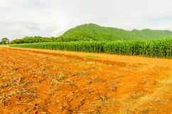 Milho, campo do milho Imagem de Stock