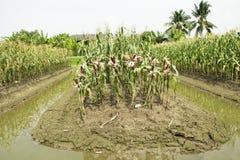 Milho ceroso ou de maio do Zea ceratina da plantação agrícola do milho Imagem de Stock Royalty Free