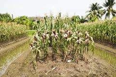 Milho ceroso ou de maio do Zea ceratina da plantação agrícola do milho Imagem de Stock