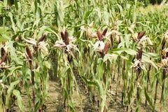 Milho ceroso ou de maio do Zea ceratina da plantação agrícola do milho Fotografia de Stock