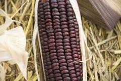 Milho ceroso ou de maio do Zea ceratina da plantação agrícola do milho Fotos de Stock Royalty Free