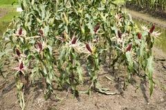 Milho ceroso ou de maio do Zea ceratina da plantação agrícola do milho Fotos de Stock