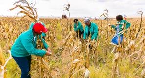 Milho comercial que cultiva em África fotos de stock royalty free