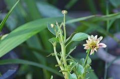 Milho-cravo-de-defunto-flor Imagem de Stock
