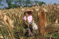 Milho da colheita Imagens de Stock Royalty Free