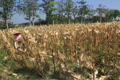 Milho da colheita Imagem de Stock
