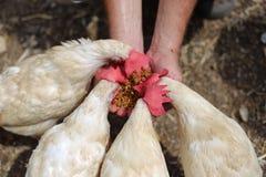Milho da galinha da exploração agrícola que come as mãos Imagem de Stock Royalty Free