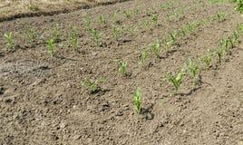 Milho da mola ou Zea maio que crescem no jardim vegetal Imagens de Stock Royalty Free