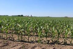 Milho de campo com e uma exploração agrícola Imagem de Stock Royalty Free