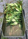 Milho doce recentemente escolhido em um carro de jardim Imagem de Stock Royalty Free